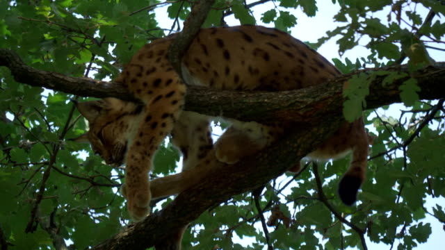 Eurasian Lynx Perched Branch - video