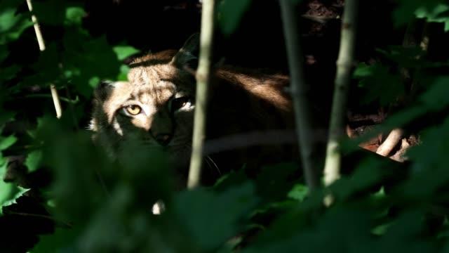 bayağı vaşak, yaban kedisi yeşil dal, doğa ortamında hayvan arkasında gizli portresi. - hayvan avlama stok videoları ve detay görüntü çekimi