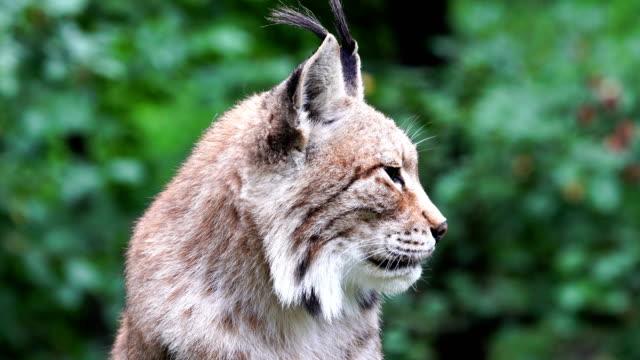 Eurasian Lynx portrait