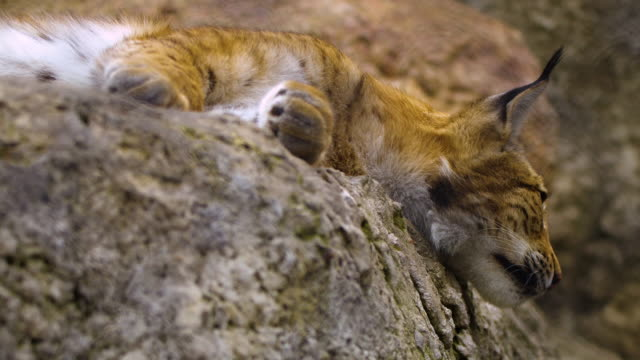 eurasian lynx (lynx lynx) - russia - łapa filmów i materiałów b-roll