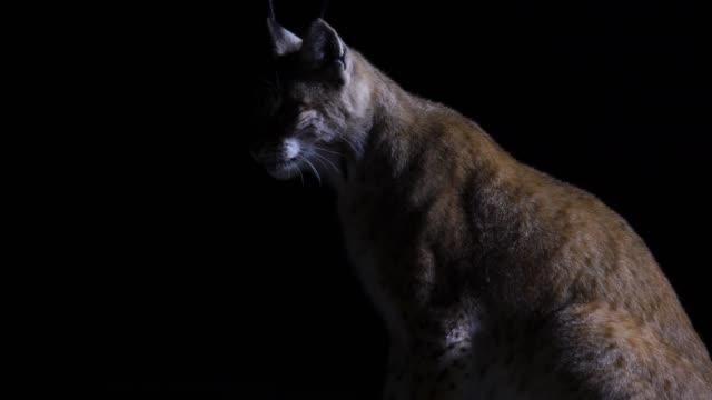 bayağı vaşak (lynx lynx) - hayvan avlama stok videoları ve detay görüntü çekimi
