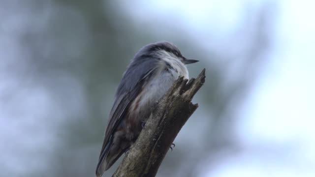 eurasian nuthatch (sitta europaea) - птица стоковые видео и кадры b-roll