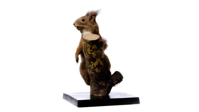 Eurasian red squirrel (Sciurus vulgaris) video