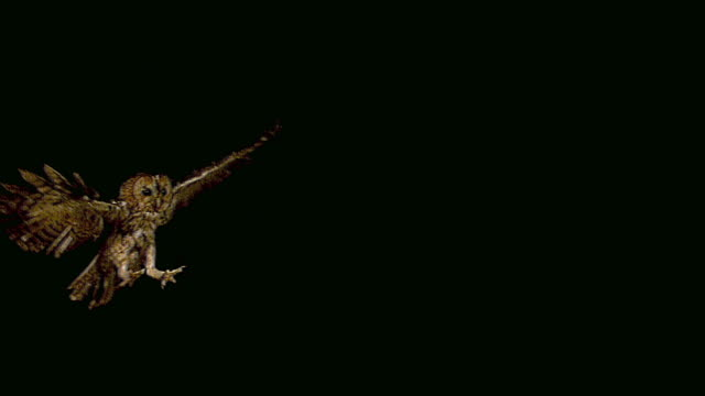 stockvideo's en b-roll-footage met euraziatische steenuil, strix aluco, volwassene in vlucht, normandië, slow motion - uil