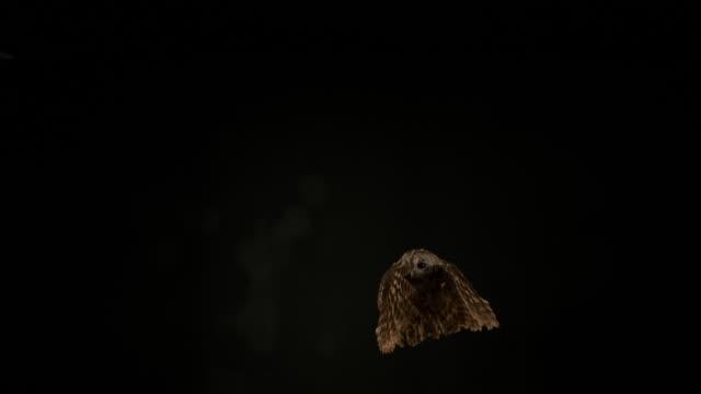 stockvideo's en b-roll-footage met euraziatische steenuil, strix aluco, volwassene in vlucht, normandië, slow motion 4k - uil