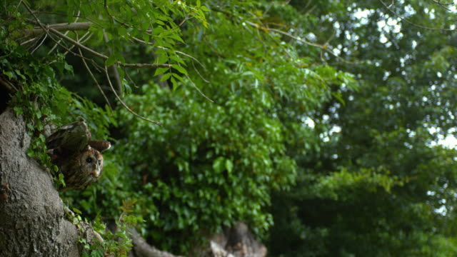 eurasian tawny owl, strix aluco, adult in flight, taking off from tree, normandy, slow motion 4k - battere le ali video stock e b–roll