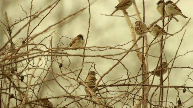 Eurasian tree sparrows on bush branches. Rural scene video