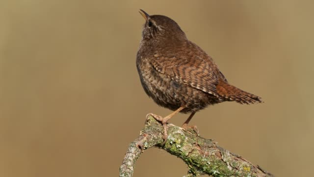 eurasian wren (troglodytes troglodytes) singing on the branch, very small brown bird, the only member of the wren family troglodytidae found in eurasia and africa (maghreb). - appollaiarsi video stock e b–roll