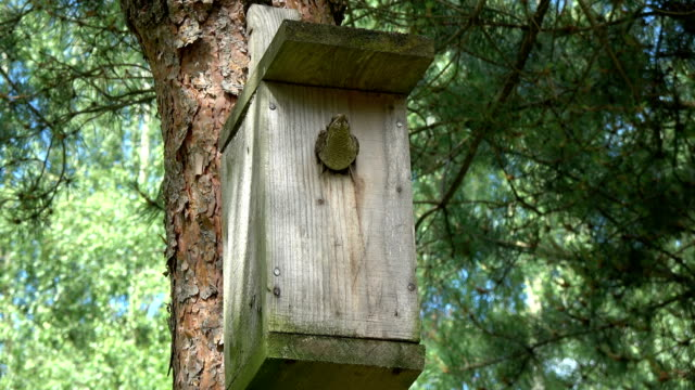 Eurasian wryneck Jynx torquilla in old wooden nesting box hole video