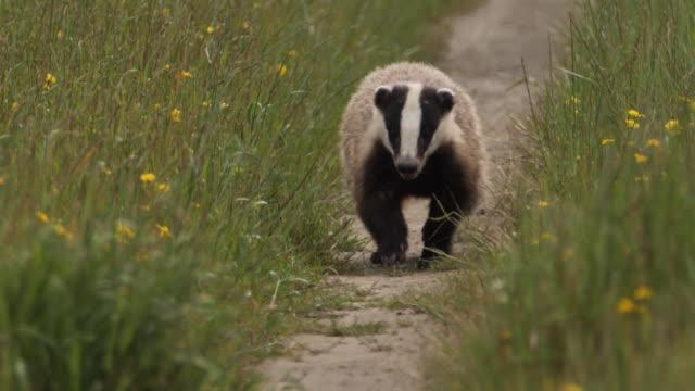 European badger (Meles meles) - Azerbaijan