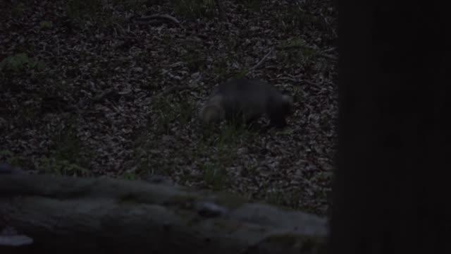 European badger (Meles meles) forages for food in forest at dusk video