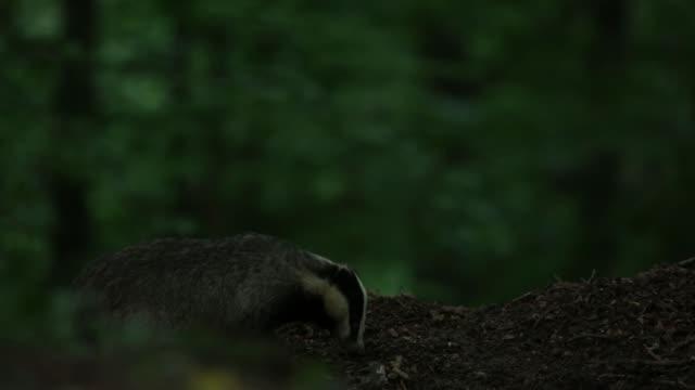 European badger (Meles meles) forages forest floor for food video