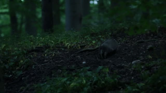 European Badger Forages Forest Floor For Food Stock Video