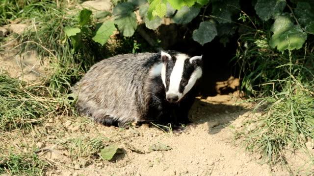 European Badger in Set video