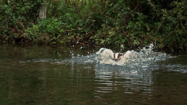 European Badger, meles meles, Adult running through Water, Normandy, Slow motion 4K video