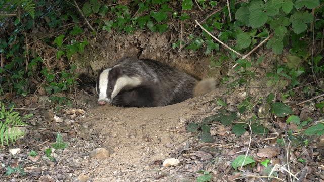 European Badger, meles meles, Adult standing at Den Entrance, Normandy, Real Time video
