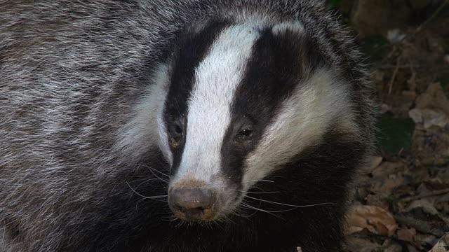 European Badger, meles meles, Normandy, Real Time video
