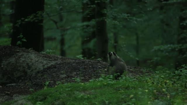 European badger (Meles meles) scratches neck video