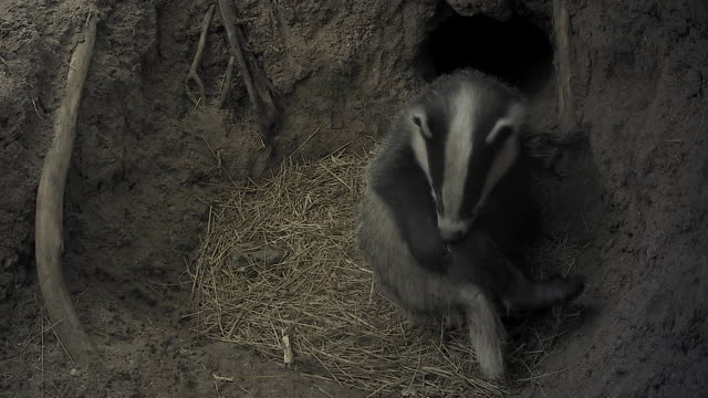 european badger (meles meles) - single sub-adult female badger playing and grooming underground in a sett - animale femmina video stock e b–roll