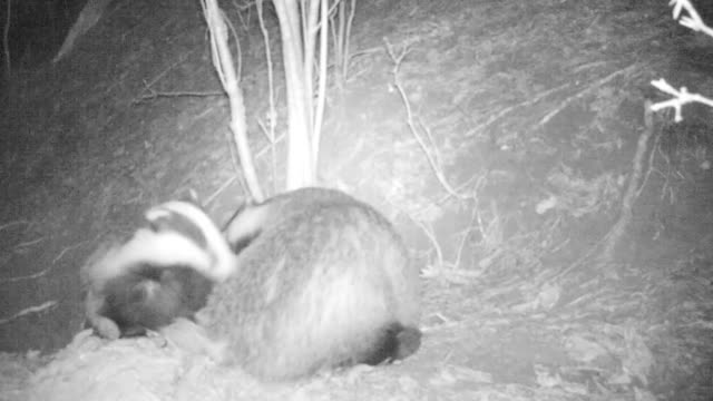 European badger video