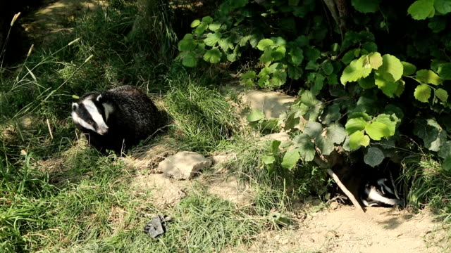 European Badgers and Sett video