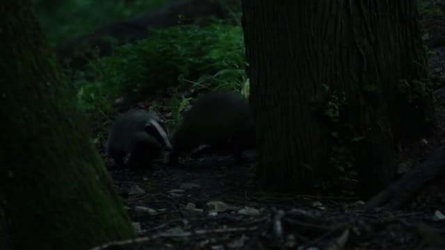 European badgers (Meles meles) chase each other through forest video