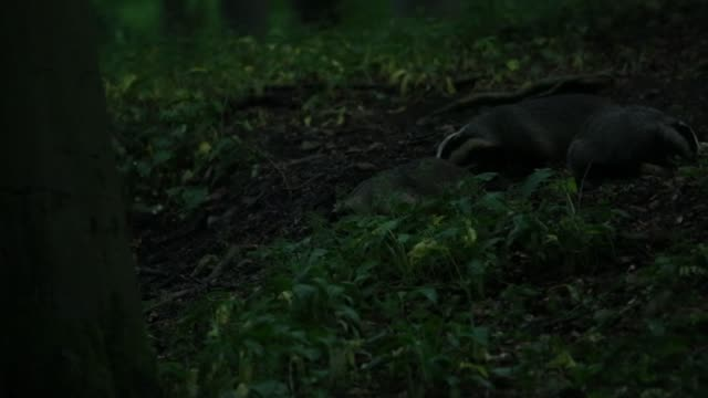 European badgers (Meles meles) forage forest floor for food video