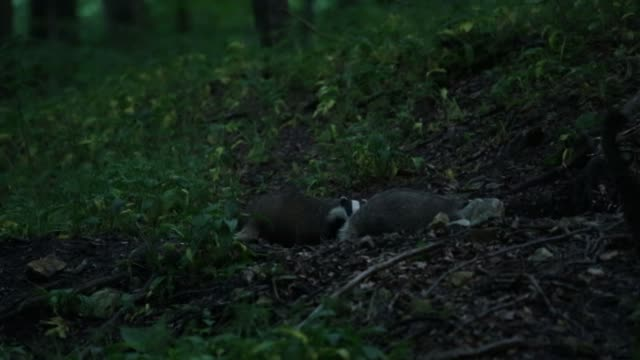 European badgers (Meles meles) forage forest floor for food