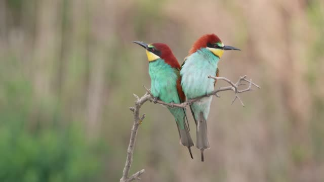 European bee-eater landing on a twig next to its partner in mating season
