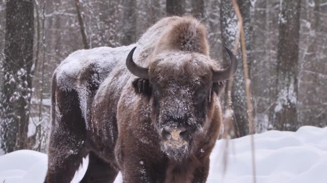 europäischer bison in der tschernobyl-zone - elch stock-videos und b-roll-filmmaterial