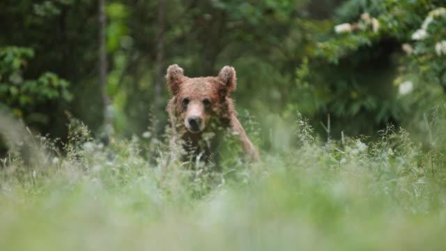 vídeos de stock, filmes e b-roll de urso marrom europeu do ld que alimenta no prado - eslovênia