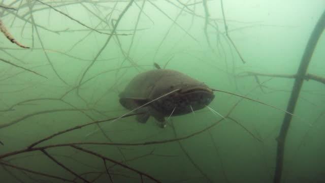 european catfish in nature habitat. big fish on dead wood branch in green tones - siluriformes video stock e b–roll