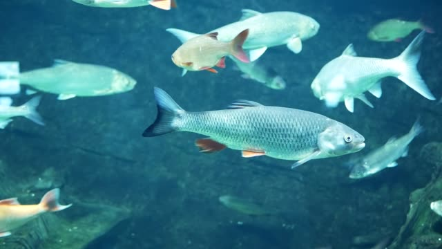 europeiska färna (squalius cephalus) under vattnet - meta bildbanksvideor och videomaterial från bakom kulisserna