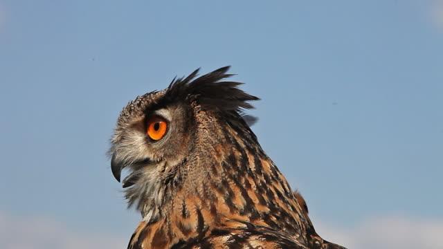 European Eagle Owl, asio otus, Portrait of Adult Looking around, Real Time European Eagle Owl, asio otus, Portrait of Adult Looking around, Real Time bird of prey stock videos & royalty-free footage