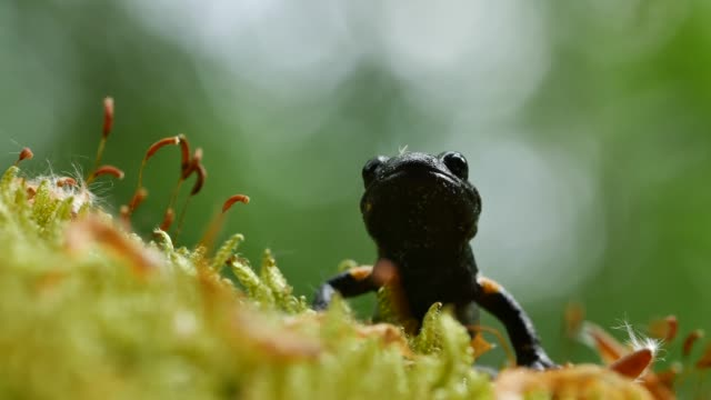 European fire salamander (Salamandra salamandra) crawls over moss Nature views in Germany's Black Forest region amphibian stock videos & royalty-free footage