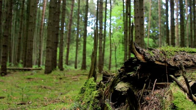 european forest - dolly shot - tracking shot of beautiful green nature forest – film