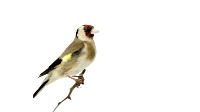 European Goldfinch perched on a branch video