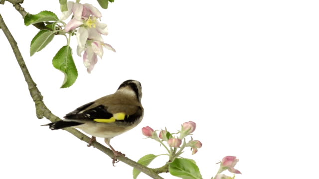 European Goldfinch perched on an apple tree branch video