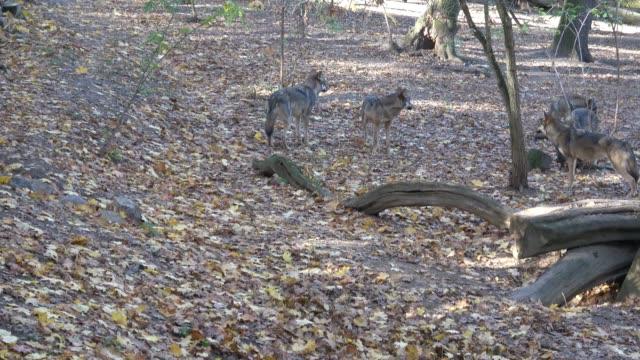 avrupa gri kurt (canis lupus lupus) ormandaki - etçiller stok videoları ve detay görüntü çekimi