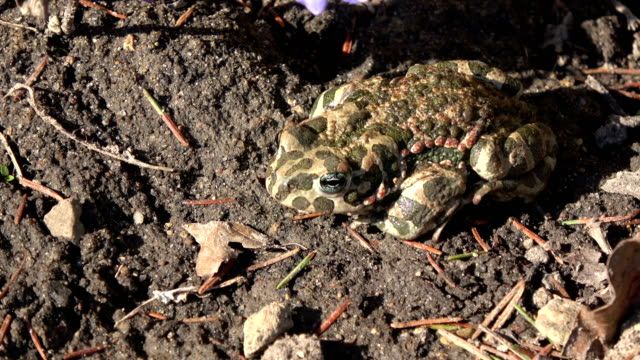 European green toad Bufo viridis in  spring video