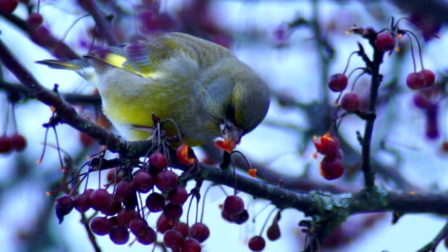 European greenfinch video