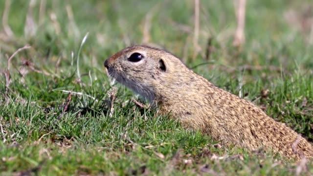 Bидео European ground squirrel, Souslik (Spermophilus citellus) natural environment