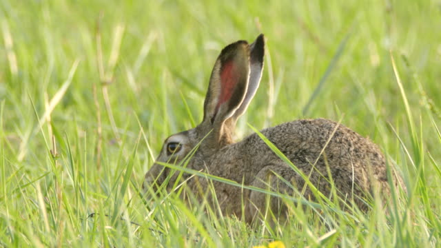 European hare (Lepus europaeus), also known as the brown hare, Russia
