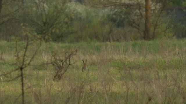 europäische hasen (lepus europaeus) chernobyl - hase stock-videos und b-roll-filmmaterial