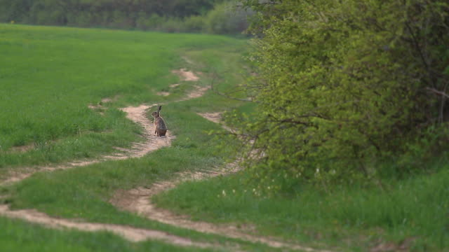 European hare on the forest road at springtime