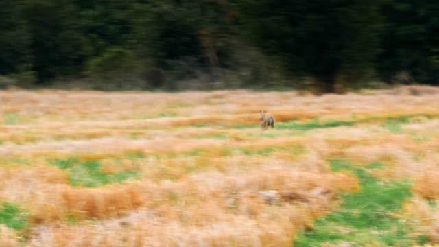 avrupa tavşan bir tarlada çalışan - tavşan hayvan stok videoları ve detay görüntü çekimi