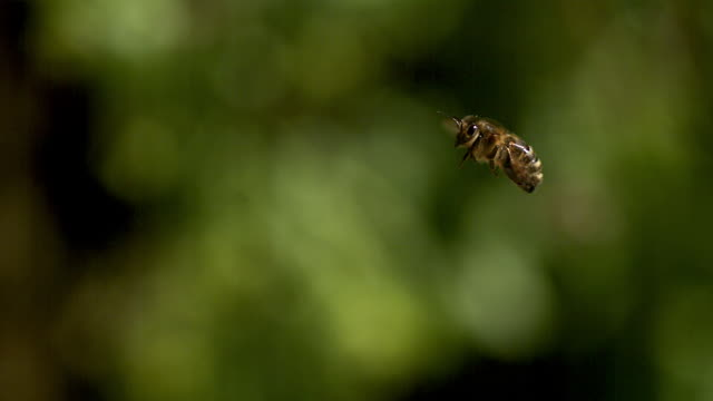 european honey bee, apis mellifera, adult flying against green background, slow motion - pszczoła filmów i materiałów b-roll