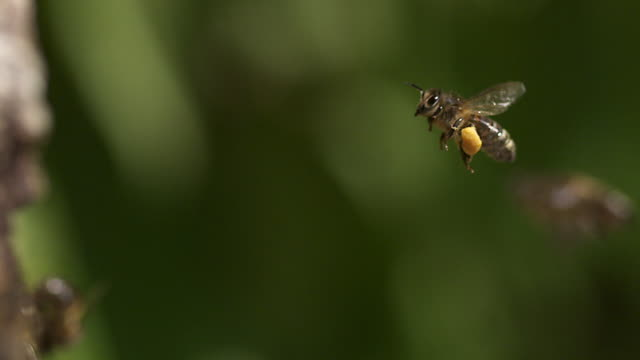 European Honey Bee, apis mellifera, Adult flying with  note full pollen baskets, Slow motion video