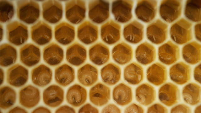 European Honey Bee, apis mellifera, Bee Brood and Alveolus filled with Larvaes and Eggs, Bee Hive in Normandy, Real Time 4K European Honey Bee, apis mellifera, Bee Brood and Alveolus filled with Larvaes and Eggs, Bee Hive in Normandy, Real Time 4K larva stock videos & royalty-free footage