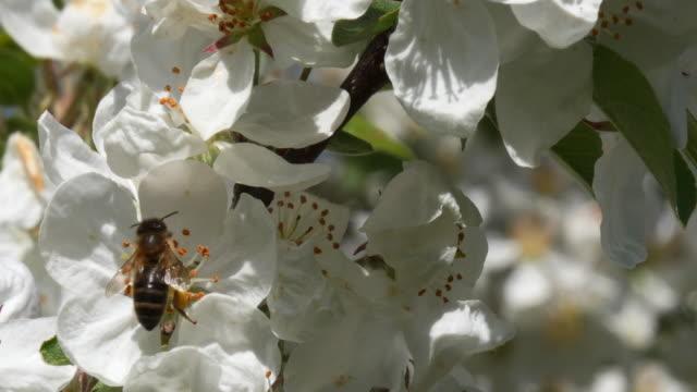 europeiska honungsbiet, apis mellifera mellifera, bee födosök apple tree blomma, pollinering act, normandie, realtid 4k - äppelblom bildbanksvideor och videomaterial från bakom kulisserna